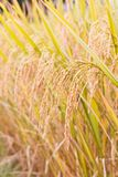 Mature paddy in paddyfield. Stock Images