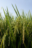 Mature paddy rice in Green field Royalty Free Stock Image