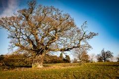 Mature parkland tree. Large, mature parkland tree in winter landscape Royalty Free Stock Image