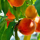 Mature peaches Royalty Free Stock Photography