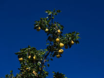 Mature pears on a branch Stock Image
