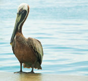 Mature pelican Royalty Free Stock Photo