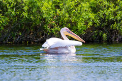 Mature pelican on water Royalty Free Stock Image