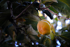 A mature persimmon on tree Stock Image
