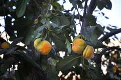 Mature persimmons on tree Royalty Free Stock Photo