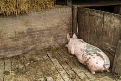 Mature pig lying alone in a stable Stock Photography