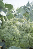 Mature plant of broccoli. Summer variety Royalty Free Stock Image