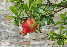 Mature pomegranate tree and red and yellow leaves Stock Images