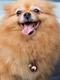 Mature Pomeranian Dog. Happy Face of Mature Pomeranian Dog Stock Images
