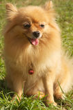 Mature Pomeranian dog sit on grass. Smile Mature pomeranian dog on grass is 8 years old Royalty Free Stock Photo