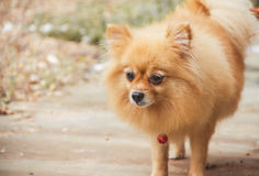 Mature Pomeranian Dog. Is standing stock photography