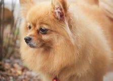 Mature Pomeranian Dog. Is standing Stock Photo