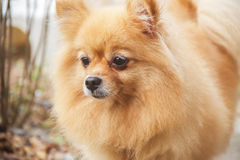Mature Pomeranian Dog. Is standing Royalty Free Stock Photo