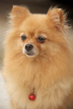 Mature Pomeranian. Is 8 years old Royalty Free Stock Photography