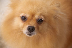 Mature Pomeranian. Is 8 years old Stock Photo