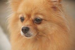 Mature Pomeranian Stock Image