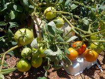 Mature Potted Tomato Plant stock photos