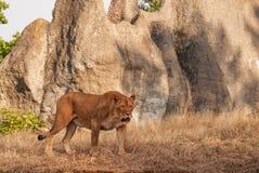 Mature predatory lioness Stock Photos