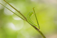 Mature Psyche caterpillar Stock Photography