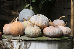 A mature pumpkin, people can eat, you can also fee Royalty Free Stock Photos