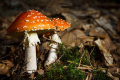 Mature red amanita muscaria Stock Image