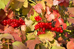 Mature red berries of viburnum Royalty Free Stock Photography