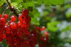Mature red currant. In the garden stock photography