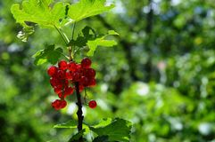 Mature red currant. In the garden stock photo