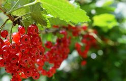Mature red currant. In the garden royalty free stock image