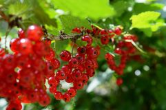 Mature red currant. In the garden royalty free stock photography