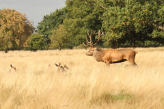 Mature Red Deer Stag Stands Guard Stock Photos