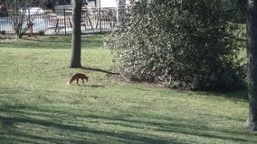 Mature red fox hunting in backyard garden. stock video footage