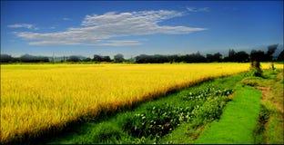 Mature rice Royalty Free Stock Photo