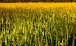 Mature rice. According to the type of rice, rice can be divided into indica and japonica rice, and rice, non glutinous rice and glutinous rice. There are other stock photos
