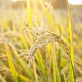 Mature rice Stock Image