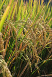 Mature rice crop ready for harvest Royalty Free Stock Image