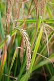 Mature rice Royalty Free Stock Photography