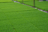 Mature rice seedlings Stock Images