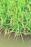 Mature or ripe paddy at paddy field waiting to be harvested Royalty Free Stock Image