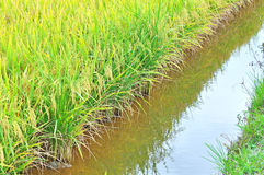 Mature or ripe paddy at paddy field waiting to be harvested Stock Photography