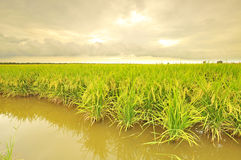 Mature or ripe paddy at paddy field waiting to be harvested Stock Images