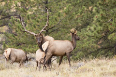 Mature Rocky Mountain Elk in full rut Stock Photography