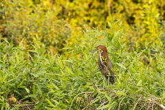 A Mature Rufescent Tiger Heron Perched amongst Bushes Stock Photos
