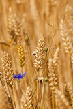 Mature rye. The ears of the turned yellow ripened rye photographed by a close up Stock Photography