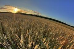 Mature Rye Field Royalty Free Stock Image