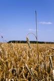 Mature rye .  harvest Stock Image