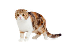 Mature scottish fold cat. Isolated Stock Photos