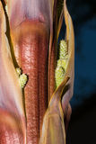 Mature Seed Within the Stalk of Yucca Plant Stock Photos
