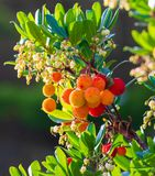 Mature and semi-ripe fruits of madroño Ripe arbutus. Natural texture of green leaves and red berries royalty free stock photos