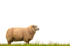 Mature Sheep Isolated On White Stock Photography